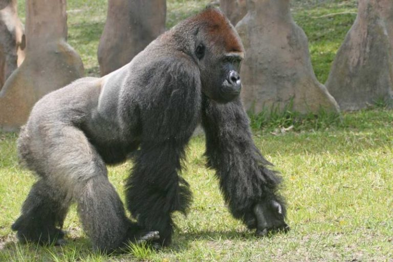 3-летный малыш упал в вольер с гориллами! В то, что произошло дальше, трудно поверить…